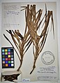 MNH DA 017-PAND-089 Freycinetia palawanensis Merr. Ex Elm.jpg