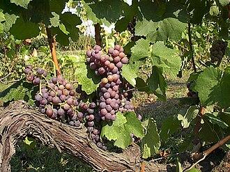 Moschofilero - Moschofilero grapes