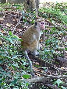 Macaca sinica-Sigiriya Village-Sri Lanka (2).jpg