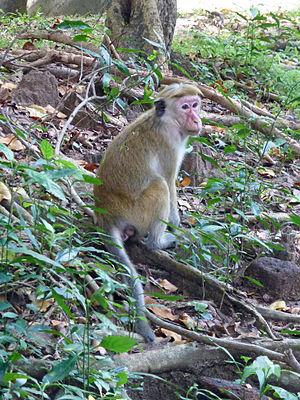Toque macaque - Image: Macaca sinica Sigiriya Village Sri Lanka (2)