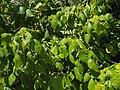 Macaranga involucrata var. mallotoides leaves.jpg