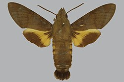 Macroglossum oceanicum BMNHE813537 male up.jpg