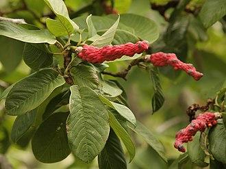 Magnolia campbellii - Image: Magnolia campbellii