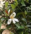 Magnolia dianica02.jpg