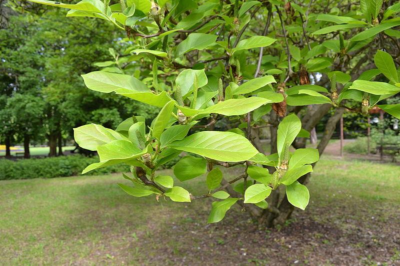 File:Magnolia soulangeana - City Park in Lučenec (3).jpg
