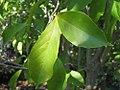Magnolia x Betty 0zz.jpg