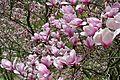 Magnolias (8732324648).jpg