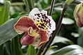 Mainau - Orchideen - Frauenschuh 001.jpg