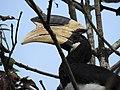 Malabar Pied Hornbill from Sindhudurg District Maharashtra DSCN0241 02.jpg