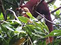 Malabar giant squirrel.jpj.jpg