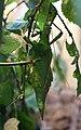 Malaiische Riesengespenstschrecke (Heteropteryx dilatata) Blumengärten Hirschstetten Wien 2014 b.jpg