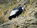 Male Andean Condor.jpg