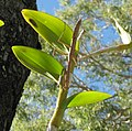 Male Stick Insect on Orchid at Rowes Bay Golf Club May 2008 - panoramio.jpg