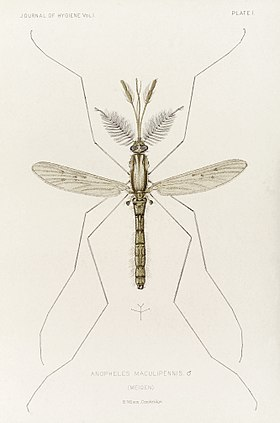 Male mosquito, Anopheles maculipennis (atroparvus), 1901 Wellcome L0037510.jpg