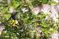 Male sunbird 1 (11726889573).jpg
