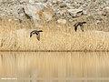 Mallard (Anas platyrhynchos) (26436726209).jpg
