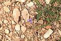 Malta - Mellieha - Triq ir-Ramla tat-Torri l-Abjad - Moraea sisyrinchium 01 ies.jpg