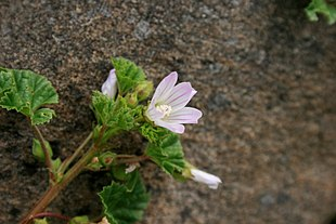 Malva-neglecta-flower.jpg