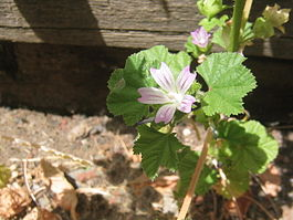 Malva neglecta-flower.jpg
