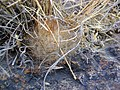 Mammillaria guelzowiana (5729308379).jpg