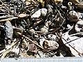 Mammillaria theresae (5702312771).jpg
