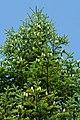 Manchurian Fir Abies holophylla 03.jpg