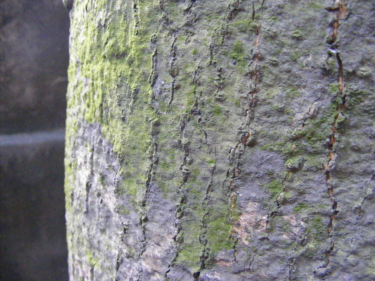 Bark (botany) - Wikipedia