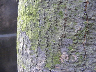 Bark (botany) - Bark of mature Mango (Mangifera indica) showing lichen growth