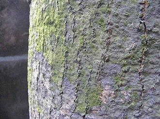Bark - Bark of mature Mango (Mangifera indica) showing lichen growth; Kolkata, India