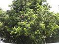Mango tree 3.JPG