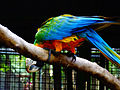 Manila Zoo CatalinaMacaw by TeamJonalynViray DSC00150.JPG