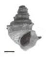 Margarya melanioides shell.png