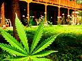 Marijuana leaf at Veer Guest House, Manali (164703748).jpg