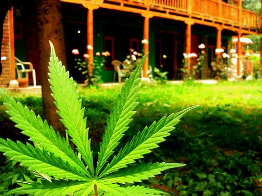 Marijuana leaf at Veer Guest House, Manali (164703748)