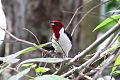 Masked Cardinal (Paroaria nigrogenis) (8079762175).jpg