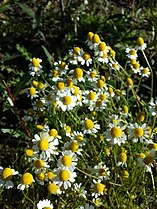 Matricaria chamomilla sl3.jpg