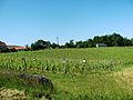 Maumusson-Laguian Vignoble de l'AOC Pacherenc-du-vic-bilh.JPG