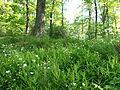 May forest, Börzsöny.JPG
