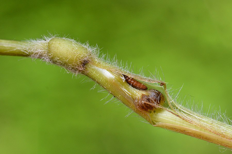 Mayetiola hellwigi gall with puparium on Brachypodium sylvaticum