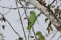 Mealy Parrot (Amazona farinosa) (4504929541).jpg