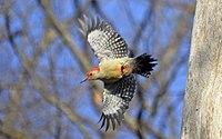 Melanerpes carolinus m Lambton Woods flight.jpg