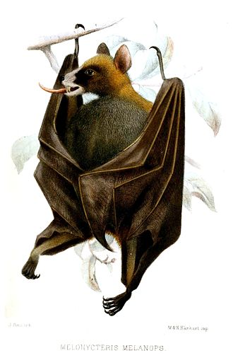 Fauna of New Guinea - The black-bellied fruit bat is native to the Bismarck Archipelago of Papua New Guinea.