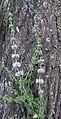 Mentha pulegium - Flickr - Dick Culbert.jpg