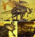 Mesembrinella caenozoica sp. nov.tiff