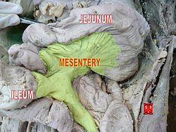 definition of mesentery