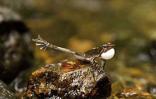 Display of male Dancing Frog