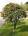 Mikkeli - tree.jpg