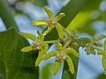 Milk Rope (Cynanchum viminale) flowers (11733026585).jpg