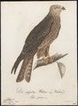 Milvus migrans - 1800-1812 - Print - Iconographia Zoologica - Special Collections University of Amsterdam - UBA01 IZ18200340.tif