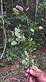 Mimosa ceratonia L. var. pseudo-obovata (Taub.) Barneby (8241636768).jpg